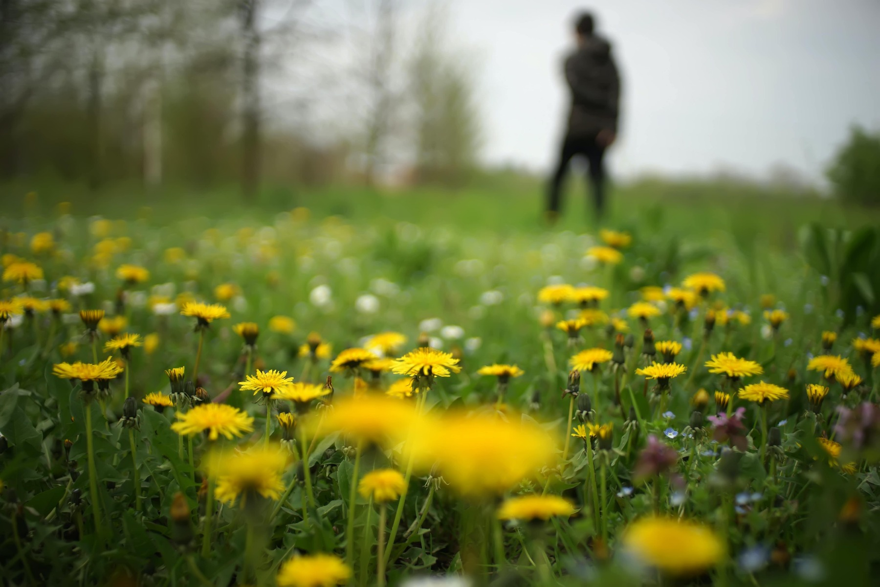 Dandelions Can Help Boost The Immune System